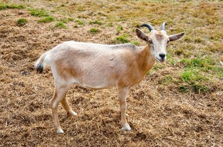 Goat on a farm Stock Photo - 17724636