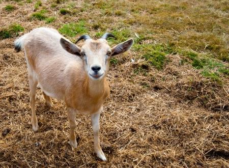 Goat on a farm Stock Photo - 17724613