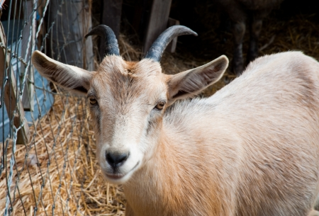 Goat on a farm Stock Photo - 17724597