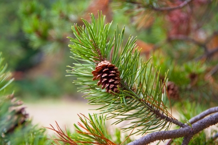 Pine cone and branch Stock Photo - 17724610