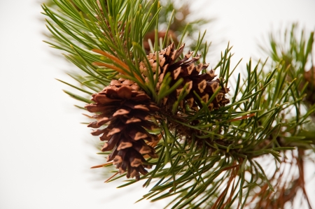 Pine cone and branch Stock Photo - 17724594