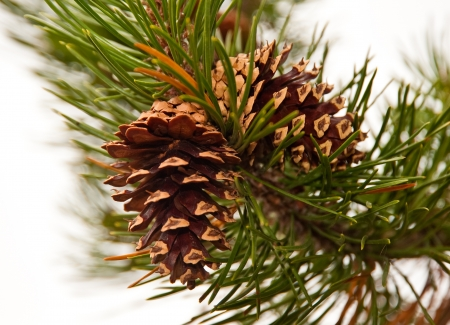 Pine cone and branch Stock Photo - 17724588