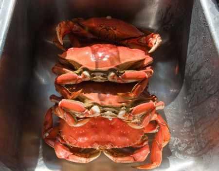 dungeness: Fresh Dungeness crab Stock Photo