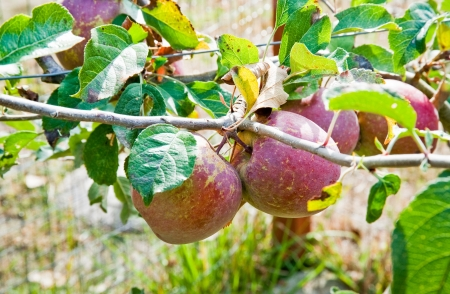 Apples and leaves Stock Photo - 17861321