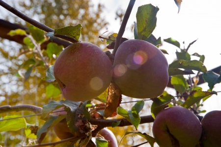 Apples and leaves Stock Photo - 17861275