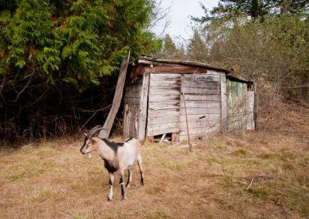 Farm shack and goat in a field Stock Photo - 17861333