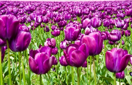 Purple tulips in Skagit Valley photo