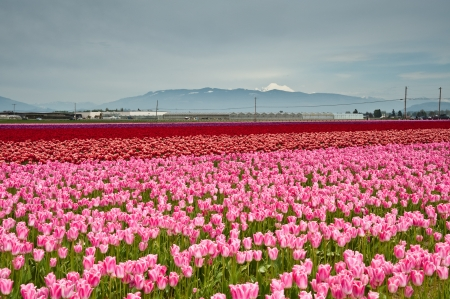 skagit: Pink and red tulips in Skagit Valley