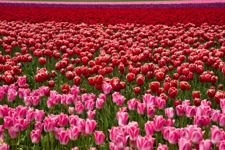 Pink and red tulips in Skagit Valley photo