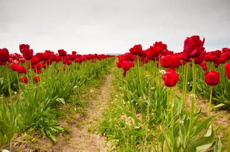 Red tulips in Skagit Valley Stock Photo