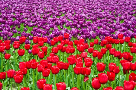 Red and purple tulips in Skagit Valley