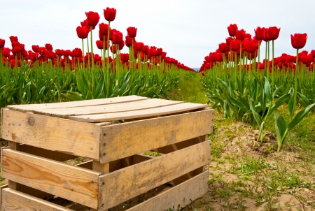 wa: Red tulips in Skagit Valley Stock Photo