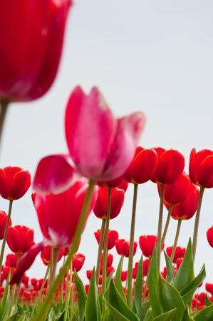 Red and pink tulips in Skagit Valley Stock Photo