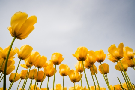 Yellow tulips in Skagit Valley Stock Photo