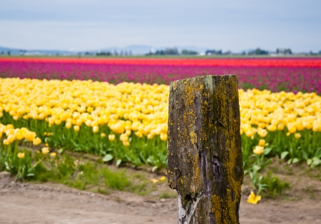 Field of tulips in Skagit Valley photo
