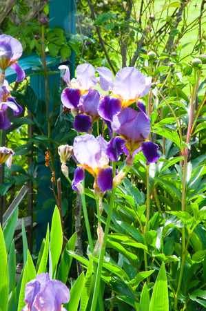 Sunlit iris flowers in a garden Stock Photo