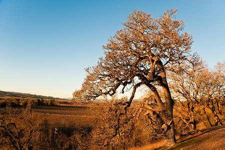 Vineyard in Sonoma CA
