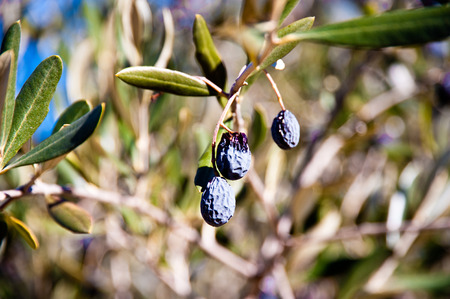 Dried olives on tree branch