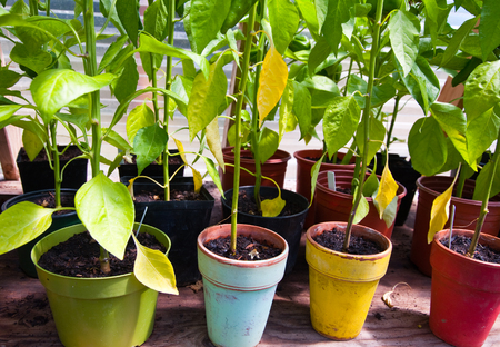 Rows of potted plants in a greenhouse Stock Photo