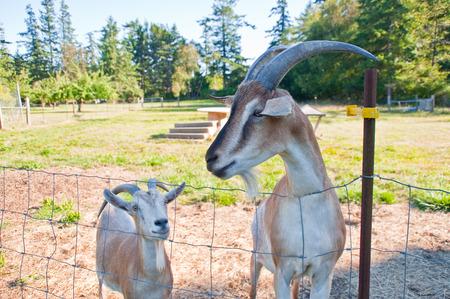 Goats on a farm Standard-Bild