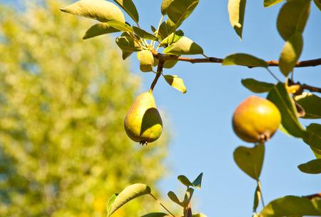 Sunlit pear and leaves Standard-Bild