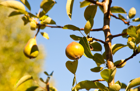 Sunlit pear and leaves Stock Photo