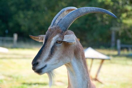 Goat on a farm Standard-Bild