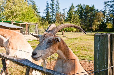 Goat on a farm Stock Photo