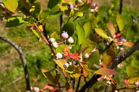 Blueberry plant