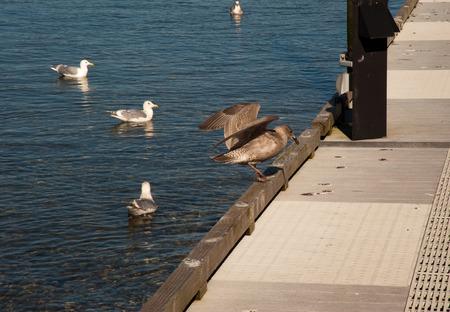 Seagulls on walkway