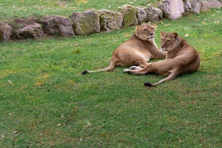 Lions resting in the grass, nature, wild animals.