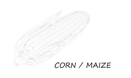 Vector illustration of hand skecth of corn or maize. Corn is a starchy vegetable and cereal grain that has been eaten all over the world for centuries. Detailed vegetarian food drawing. Ilustracja
