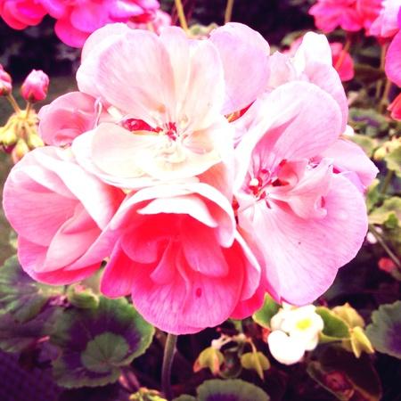 Mooie roze bloemen in de tuin