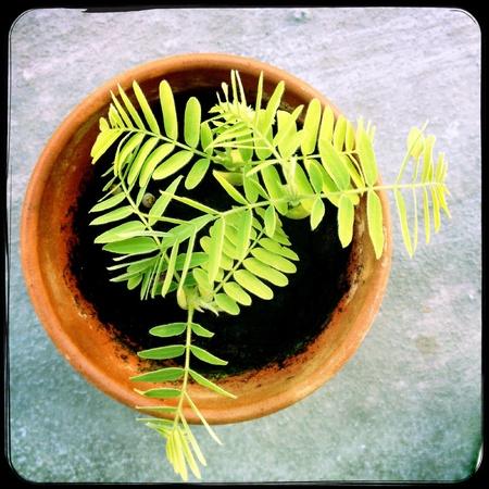 Tamarindeplanten Stockfoto