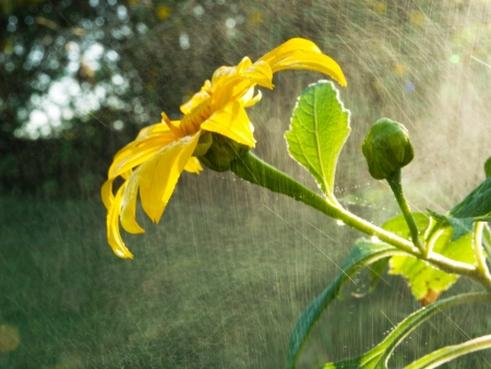 drizzling rain: Mexican Sunflowers among mist of rains