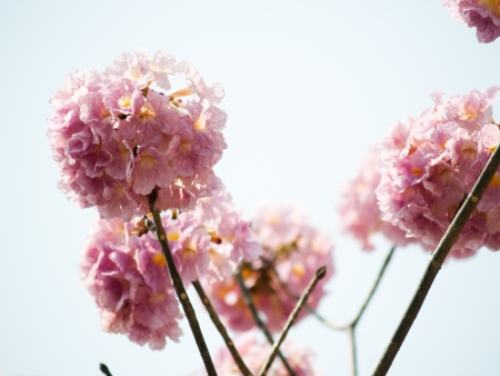 Tabebuia is a sweet pink flower blooming during January and February in Thailand