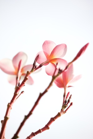 Pink plumeria flowers isolated on white photo
