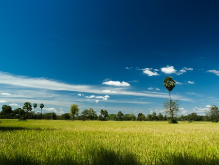 rice field and blue sky