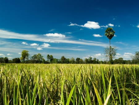 rice field and blue sky photo