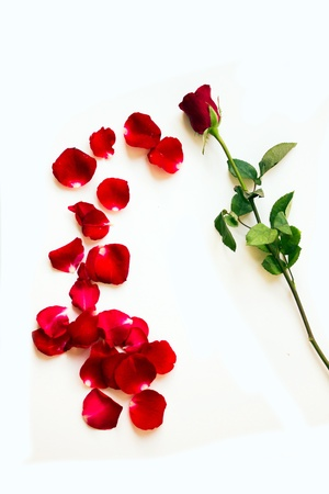 Combination of red rose petals into flower form--conceptual photo