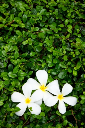 white and yellow plumeria on green bush background photo