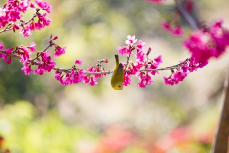 yellow bellied flycatcher bird on Wild Himalayan Cherry tree photo