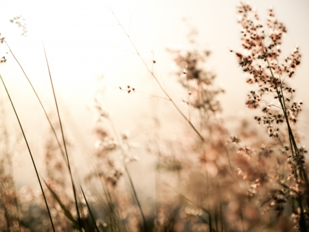 red natal grass (shallow dof abstract background, warm colors, place for text) Stock Photo