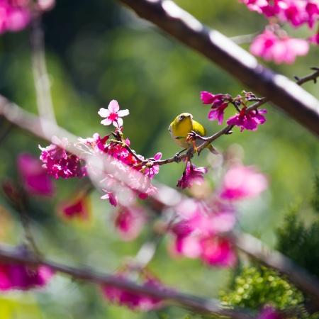 oriental white-eye bird on Wild Himalayan Cherry tree in Thailand Stock Photo - 17514600