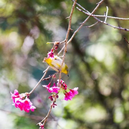 oriental white-eye bird on Wild Himalayan Cherry tree in Thailand Stock Photo - 17514603