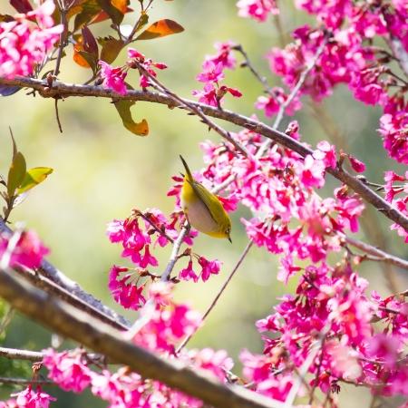 oriental white-eye bird on Wild Himalayan Cherry tree in Thailand Stock Photo - 17514606