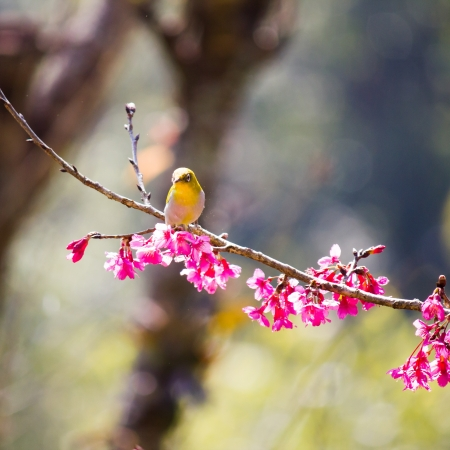 oriental white-eye bird on Wild Himalayan Cherry tree in Thailand Stock Photo - 17514605