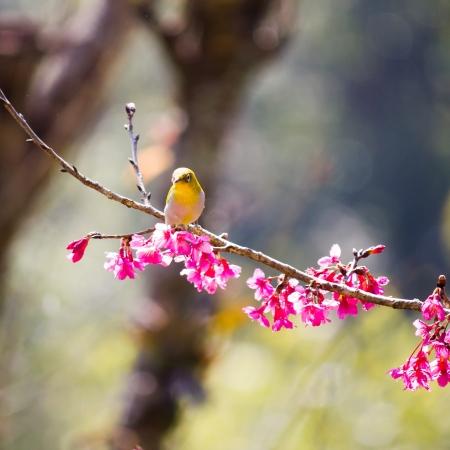 oriental white-eye bird on Wild Himalayan Cherry tree in Thailand Stock Photo - 17514605