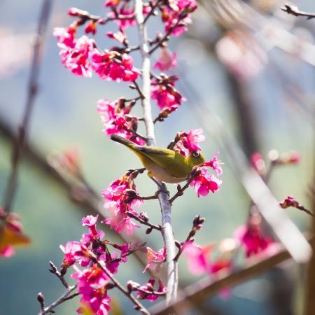 oriental white-eye bird on Wild Himalayan Cherry tree in Thailand Stock Photo - 17514601