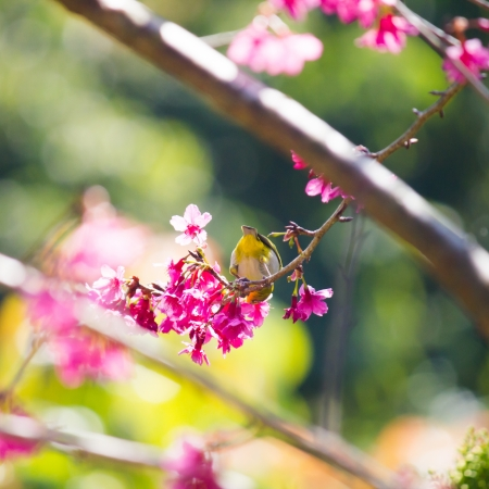 oriental white-eye bird on Wild Himalayan Cherry tree in Thailand Stock Photo - 17514597
